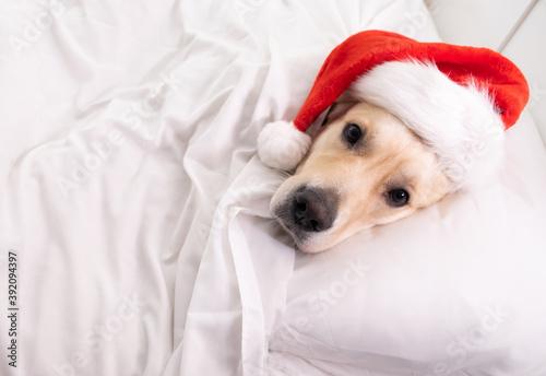 Cute golden retriever funny sleeping in bed in santa claus hat Fototapet