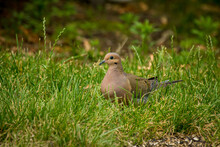 Brown Mourning Dove Grass