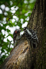 Male Female Downy Woodpeckers