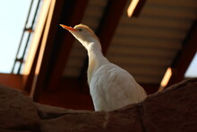 White Goose On The Roof