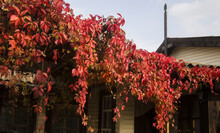 Gazebo Covered With Red Ivy Leaves