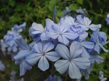 Closeup Shot Of Blue Plumbago Flower Plant