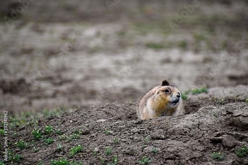 Fotografering prairie dog