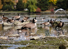 Flock Of Canada Geese Standing In Shallow Water Of Dow's Lake On An Autumn Day