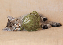 6 Week Old Tabby Kitten Playing With Green Ball Of Yarn, Laying On A Brown Burlap Background Fiber Material.