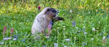 Adorable Hoary Marmot Feeding In Summer Wildflower Meadow, Paradise At Mt. Rainier National Park, Washington State, USA