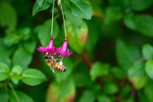 Tiny Pink Fuchsia Blooms Being...