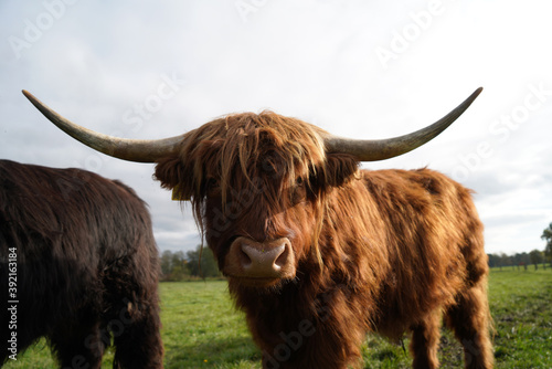 Fototapeta Closeup of a highland cow standing in the middle of the field on a sunny day obraz