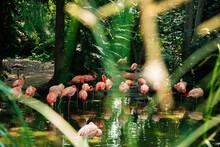 Zoo Flamingos In Denver, Colorado.
