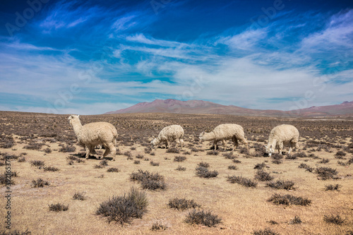 Fototapeta premium Beautiful shot of alpacas walking in desert
