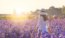 Back Woman In White Dress Holding White Hat Enjoying Summer In Purple Cutter Flowers Field At Sunlight In Flowers Village, Udon Thani Province In Thailand.