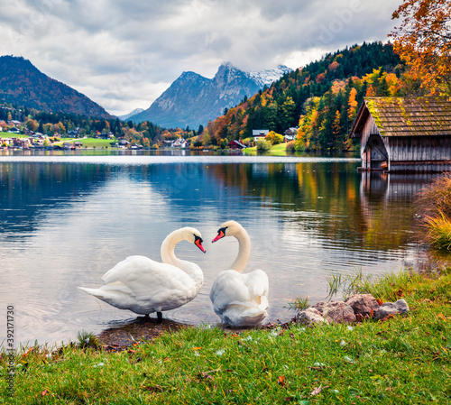 Cuadros en Lienzo Two white swans on the Grundlsee lake
