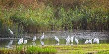 A Flock Of Little Egrets (Egretta Gatzetta) Preening At The Water's Edge, Marazion Marsh RSPB Reserve, Cornwall, England, UK.