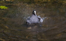 Coot Bird (water Chicken) Clos...