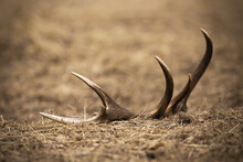 Shed From Red Deer, Cervus Elaphus, Stag Lying On The Ground In Spring Nature. Fallen Antler From Mammal Down On The Grass From Low Angle Perspective With Blurred Background.