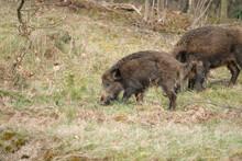 Wild Boar With Cute Piglets Wa...