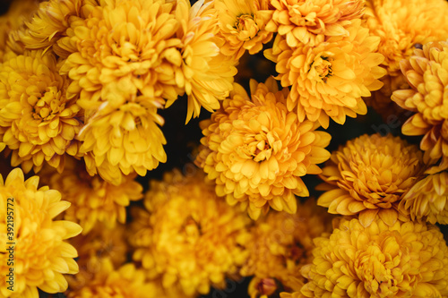 Foto The autumn Flowers, chrysanthemum flowers wallpaper background.