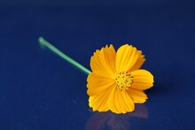 Yellow Flower (Mexican Aster) Scientific Name: Cosmos Bipinnatus Cav. Selectable Focus. Isolated Blue Background