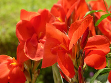 Closeup Shot Of Blooming Canna Lily Flowers In The Garden