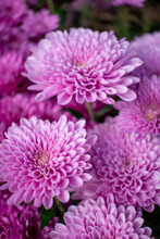 Pink Chrysanthemums / Cheryl Pink Flowers In The Cold Fall Garden