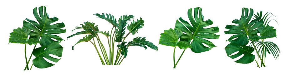 Two Tropical jungle Monsteraand Fern leaves isolated, Swiss Cheese Plant, isolated on white background,clipping path.