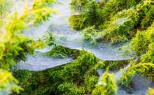 Drops Of Dew In A Foggy Cobweb In The Bush On A Summer Morning