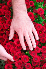 The Gardener Takes Care Of Chrysanthemums In The Garden. Alizarin Crimson Color Of Chrysanthemums. Vertical Image.