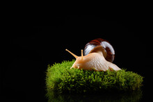 Achatina On Green Moss