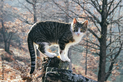 Domestic cat outdoor during autumn season with forest in the background