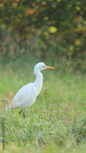Fototapeta premium The white Cattle Egret bird wandering in the green grass of farm land.