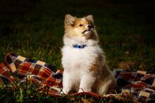 Dog On A Blanket. Shetland Sheepdog Puppy.
