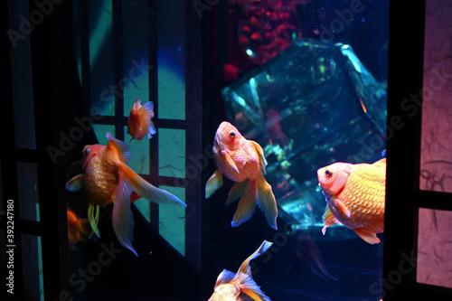 Fotografie, Obraz 障子のある和風の水槽の中で泳ぐ日本の可愛い金魚達とライトアップ