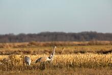 The Flock Of Sandhill Cranes O...