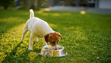 Super Cute Pedigree Smooth Fox Terrier Dog Drinks Water Out Of His Outdoors Bowl. Happy Little Doggy Having Fun On The Backyard. Sunny Day Outdoors