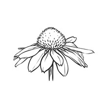 Chamomile Flower Isolated. Hand Drawn Vector Illustration.