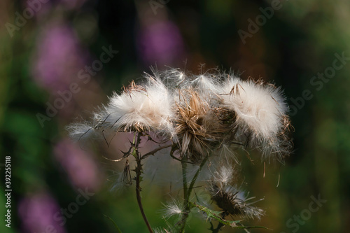Fotografering Overblown thistles with white fluffy seeds