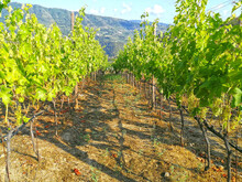 Vineyards Of Rossese Grapes In...