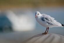 Black-headed Gull Resting On A...