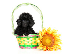 Toy Poodle On A White Backround