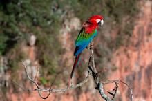 Red-and-green Macaw (Ara Chloropterus), Mato Grosso Do Sul, Brazil