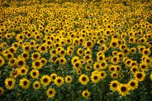 Field Full Of Yellow Sunflowers, Newbury, West Berkshire