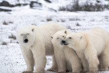 Polar Bear Mother And Two Cubs...