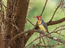 An Adult Red-and-yellow Barbet (Trachyphonus Erythrocephalus), Tarangire National Park, Tanzania