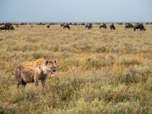 Adult Spotted Hyena (Crocuta Crocuta), With Wildebeests In Serengeti National Park, Tanzania