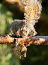 A Grey Squirrel Photographed On A Garden Fence In York, North Yorkshire