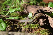 Italian Wall Lizard Or Ruin Li...