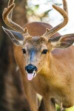 Roosevelt Elk At Olympic National Park, Washington State