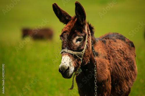 Tela close up of a donkey