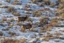 Mule Deer Bucks In Wyoming In Winter