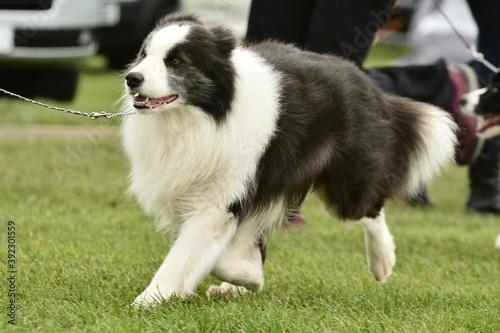Fotografie, Tablou border collie dog